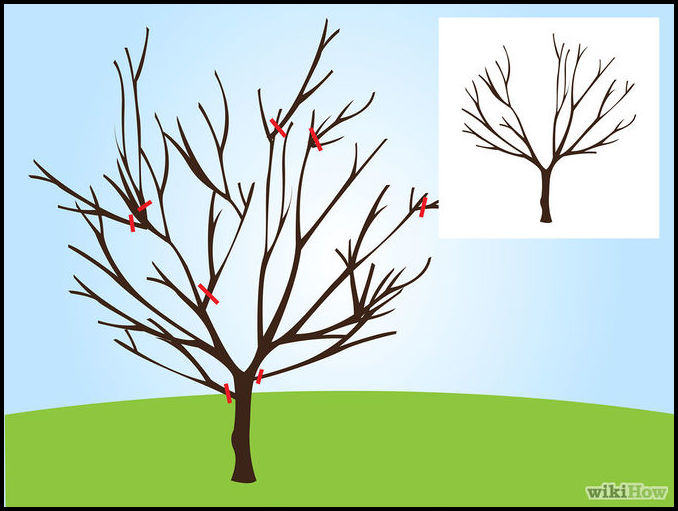How To Prune Cherry Tree