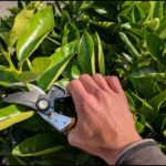 How To Prune Citrus Trees