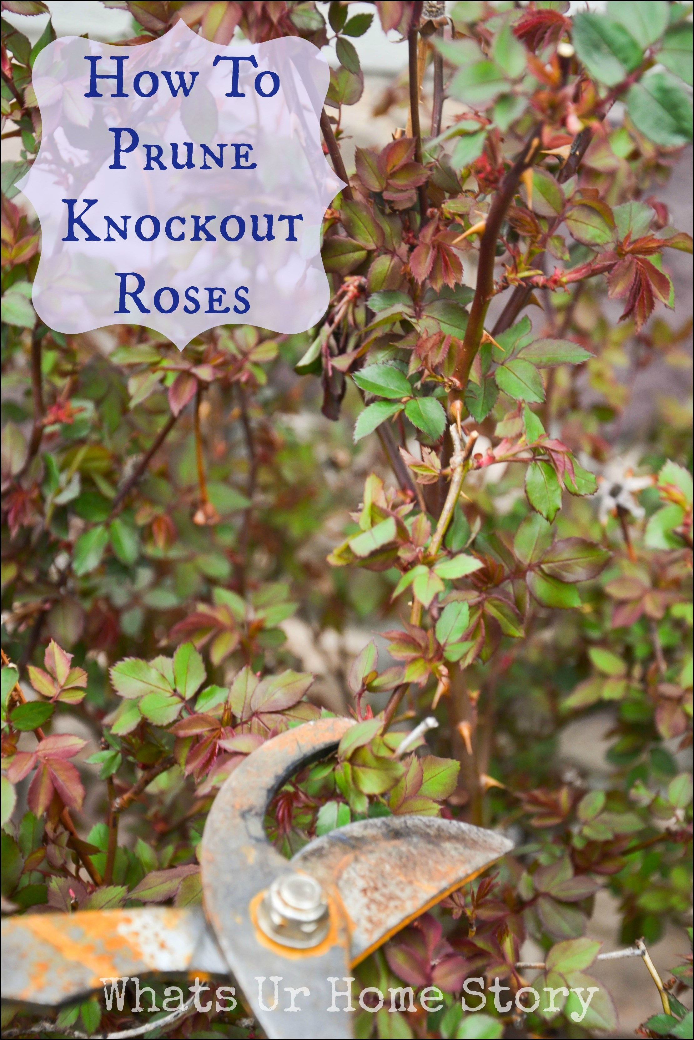 How To Prune Knockout Rose Bushes