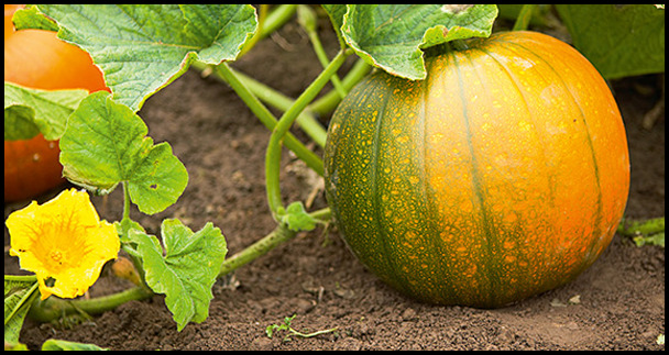 Is Pumpkin A Fruit Or Vegetable Wikipedia