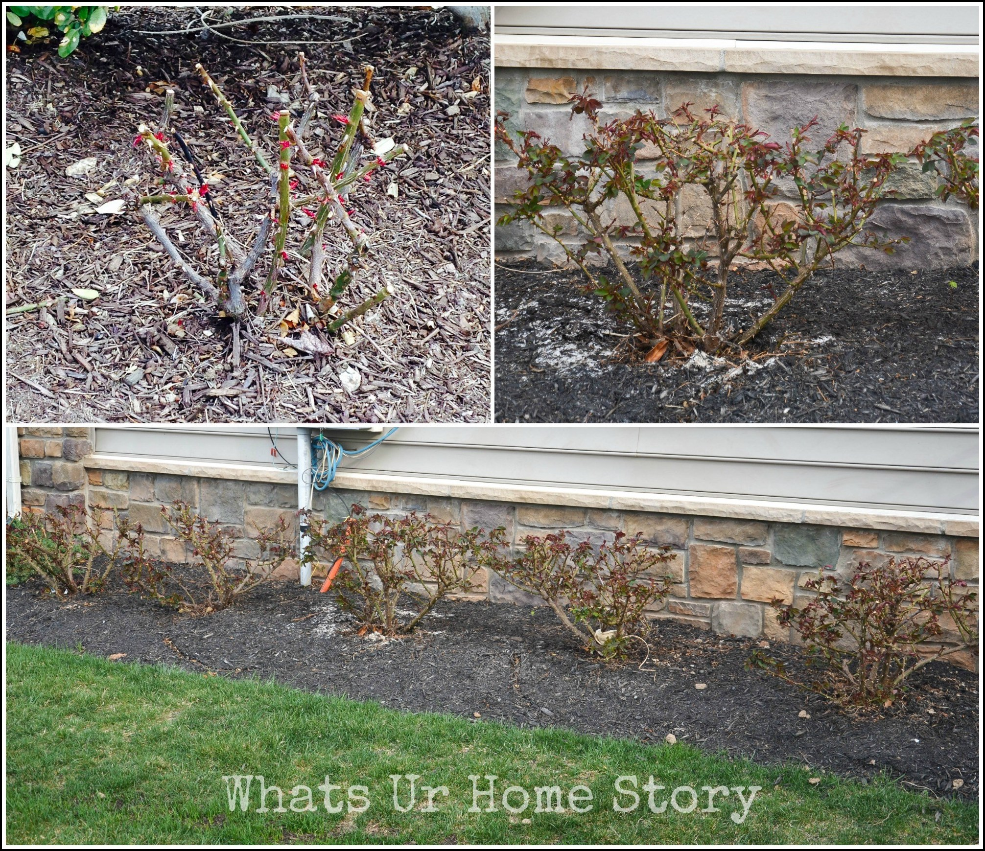 Knock Out Roses Pruning