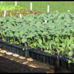 Organic Vegetable Plants For Sale