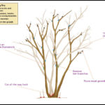Pruning A Crepe Myrtle