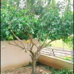 Pruning A Lemon Tree