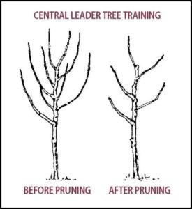 Pruning A Pear Tree