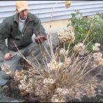 Pruning Endless Summer Hydrangea