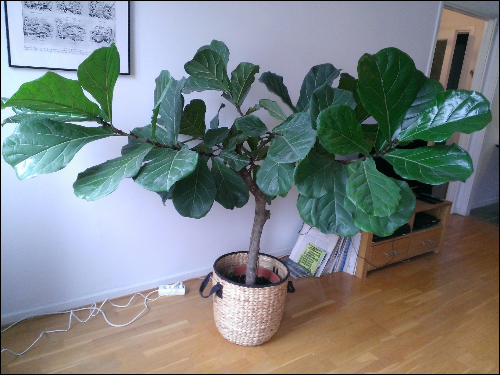 Pruning Fiddle Leaf Fig