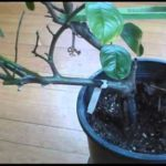 Pruning Meyer Lemon Tree