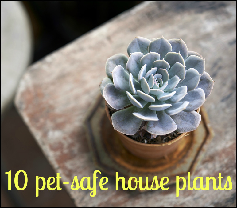 Succulents Safe For Cats