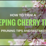 Weeping Cherry Tree Pruning