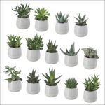 What Are Succulent Plants