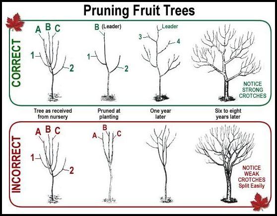 When Do You Prune Fruit Trees
