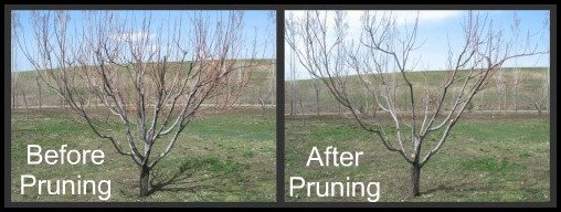 When To Prune A Peach Tree