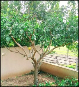 When To Prune Lemon Tree