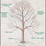 When To Prune Maple Trees