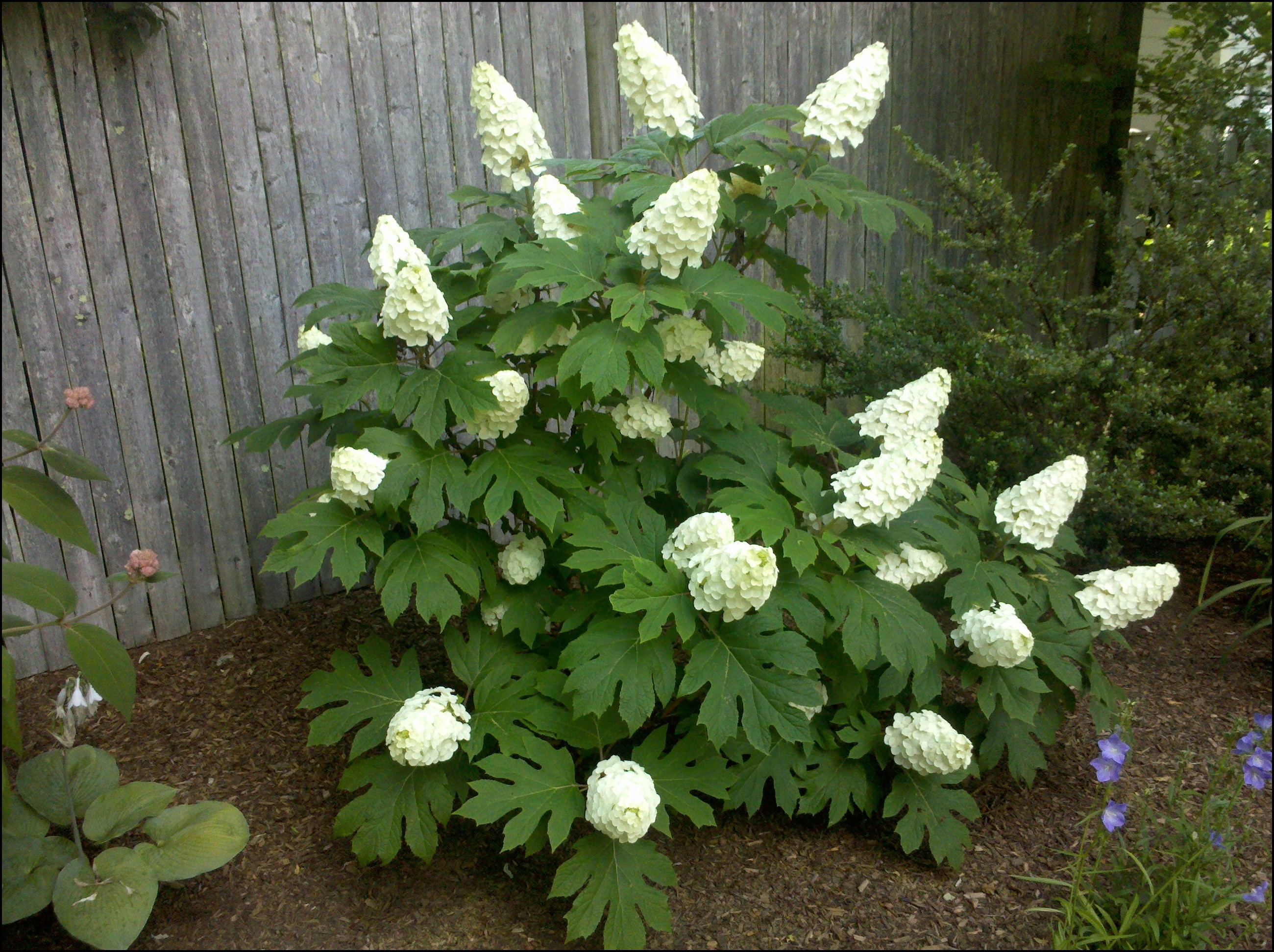 When To Prune Oakleaf Hydrangea