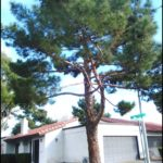 When To Prune Pine Trees
