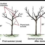 When To Prune Plum Trees