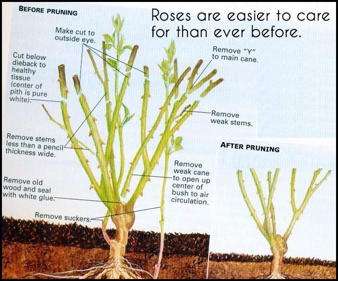 When To Prune Rose Bushes