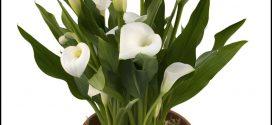 Calla Lily Bulbs For Sale
