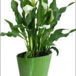 Calla Lily Care Indoors
