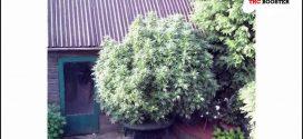 Good Fertilizer For Weed