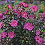 Hardy Hibiscus Plants For Sale