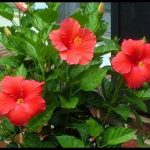 Where To Plant Hibiscus