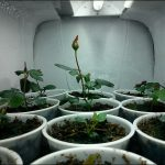 Growing Roses From Seed