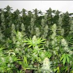 How To Make Buds Grow Faster