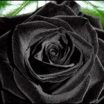 Where Do Black Roses Grow