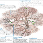 Pruning A Japanese Maple