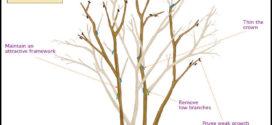 Pruning Crepe Myrtle Trees