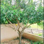 When To Prune Lemon Tree